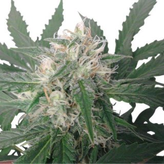 Royal Queen Seeds Royal Bluematic autofem 10er