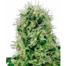 White Label Seeds Pure Power Plant female 3er