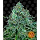 Barneys Farm Critical Kush female 10er
