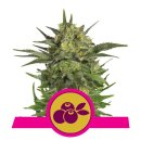 Royal Queen Seeds Haze Berry female 10er