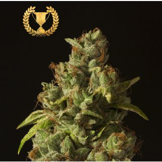 Devils Harvest Seeds Rollex OG Kush female 5er