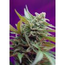 Sweet Seeds Black Jack autofem 5er