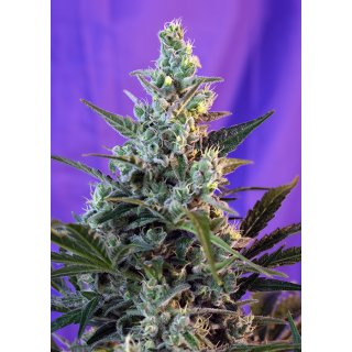 Sweet Seeds Sweet Skunk F1 Fast Version female 5er