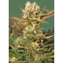 Serious Seeds Motavation female 6er