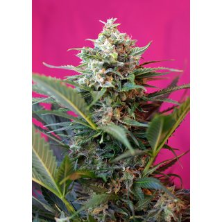 Sweet Seeds Big Devil XL autofem 5er