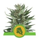 Royal Queen Seeds Royal Cheese autofem 3er