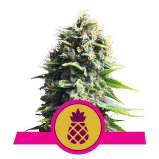 Royal Queen Seeds Pineapple Kush female 3er