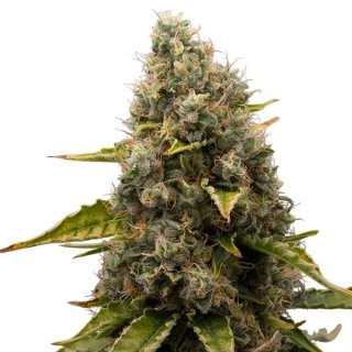 Royal Queen Seeds White Widow female 3er