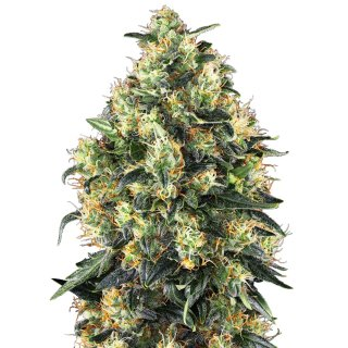 Sensi Seeds Super Skunk autofem 10er