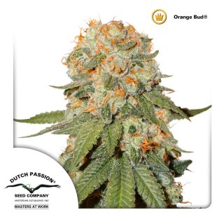 Dutch Passion Orange Bud female 3er