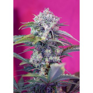 Sweet Seeds Cream Mandarine autofem 5er