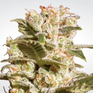 Paradise Seeds Belladonna female 3er