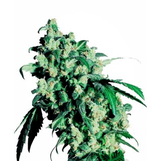 Sensi Seeds Super Skunk female 25er