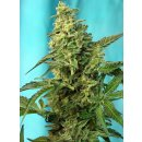 Sweet Seeds Green Poison F1 Fast Version female 5er