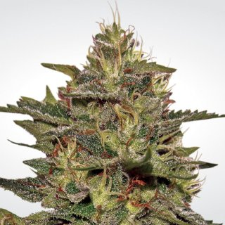 Paradise Seeds Original Cheese female 5er
