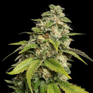 Reserva Privada Sour Kush female 6er