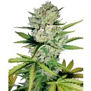 White Label Seeds Super Skunk autofem 10er