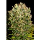 Serious Seeds Warlock female 6er