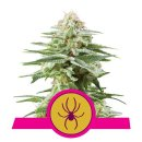 Royal Queen Seeds White Widow female 5er