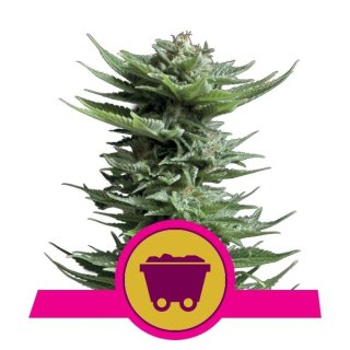 Royal Queen Seeds Shining Silver Haze female 5er