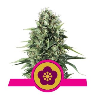 Royal Queen Seeds Power Flower female 5er