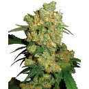 Sensi Seeds Big Bud female 25er