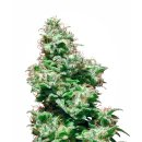 White Label Seeds Kali Haze regular 10er