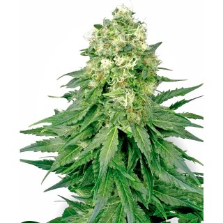 White Label Seeds White Widow regular 10er