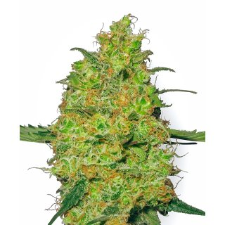 White Label Seeds Master Kush female 10er