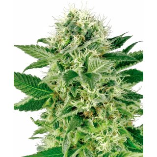 White Label Seeds Northern Lights female 5er