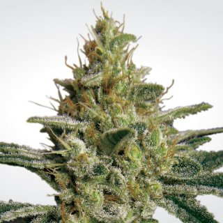 Paradise Seeds Allkush female 10er