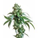 Sensi Seeds Jack Flash regular 10er