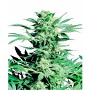 Sensi Seeds Shiva Skunk regular 10er