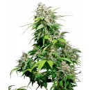 Sensi Seeds California Indica regular 10er