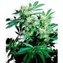 Sensi Seeds Skunk Kush female 5er