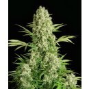 Serious Seeds White Russian female 6er