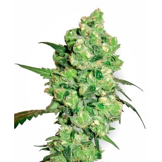 White Label Seeds Super Skunk female 10er