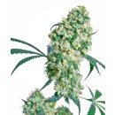 Sensi Seeds Ed Rosenthal Super Bud regular 10er