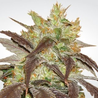 Paradise Seeds Spoetnik #1 female 5er