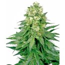 White Label Seeds White Widow female 5er