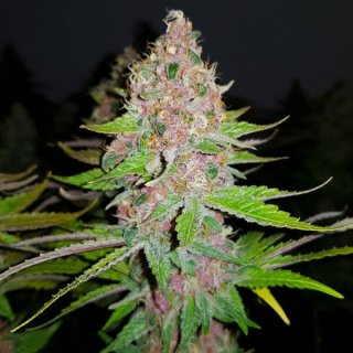 Royal Queen Seeds Purple Queen female 10er