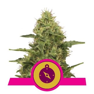 Royal Queen Seeds Northern Light female 100er
