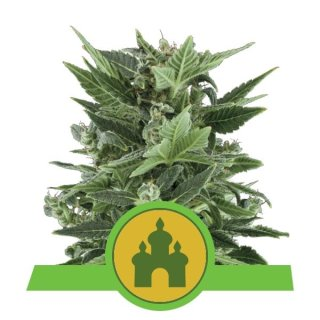 Royal Queen Seeds Royal Kush autofem 5er