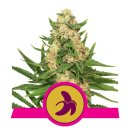 Royal Queen Seeds Fat Banana female 5er