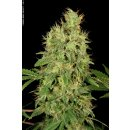 Serious Seeds CBD Chronic female 6er