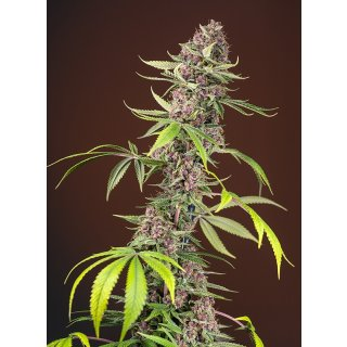 Sweet Seeds Red Mandarine F1 Fast Version female 5er