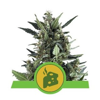 Royal Queen Seeds Blue Cheese autofem 10er