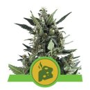Royal Queen Seeds Blue Cheese autofem 3er