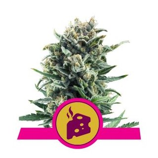 Royal Queen Seeds Blue Cheese female 3er