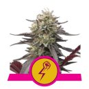 Royal Queen Seeds Green Crack Punch female 5er